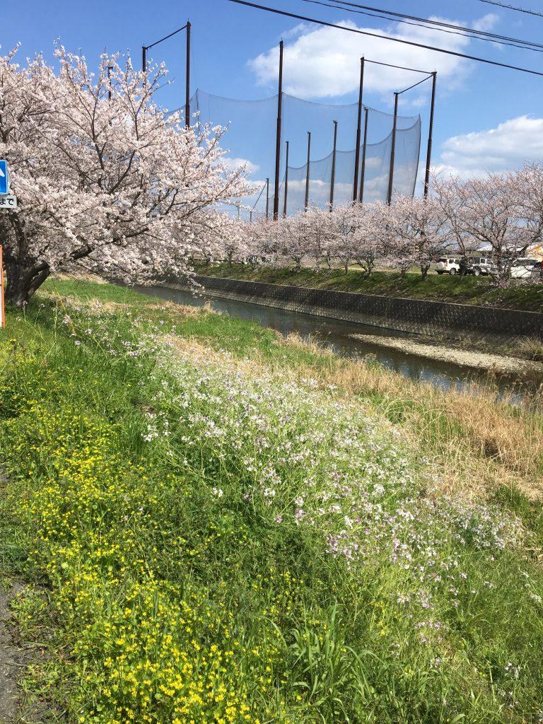 池田川沿いの桜