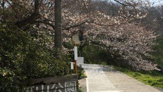 篠山公園の桜