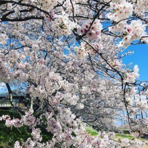 糸島の池田川沿いの桜