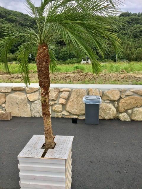 ラウレアシュリンプの木