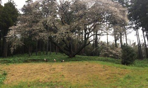 糸島の一本桜